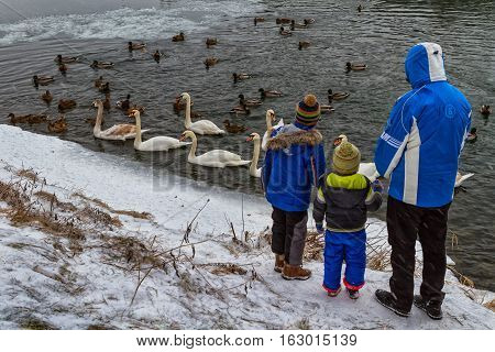 Uzhgorod Ukraine - December 25 2016: Local people feed the swans and wild ducks that spend the winter on the river.