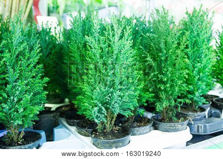 Seedlings of deciduous trees. Pine tree in a pot. Thuja occidentalis Danica