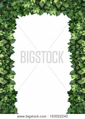 arch of climbing green plant isolated on white background