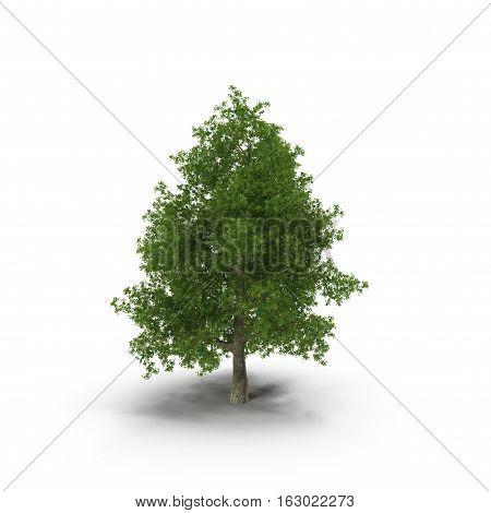 Poplar tree isolated on white background. 3D illustration