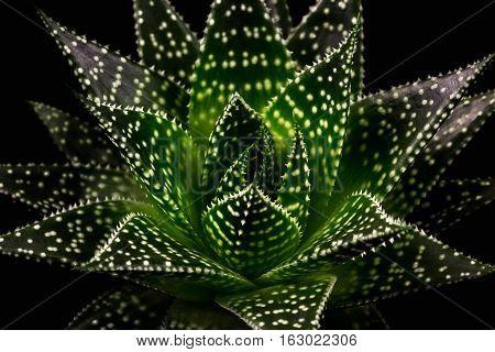 Close-up of succulent gasteria apollo. Macro photography of nature.