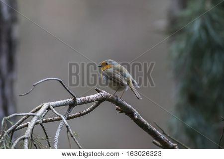 Robin Redbreast (erithacus Rubecula)