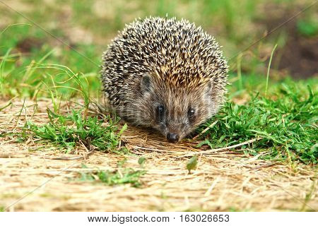 Hedgehog in grass and looking at the camera 1