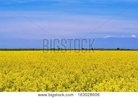 Image of Field of Rapeseed in Romania