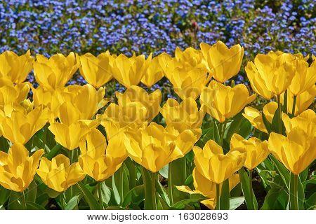 Flowerbed Of Yellow Tulips