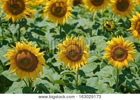 Image of Yellow Sunflowers Field in Bulgaria