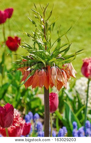 Image of Crown Imperial Flower (Fritillaria imperialis)