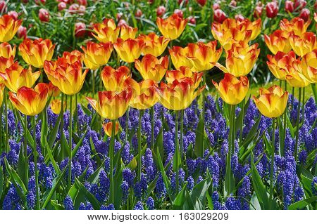 Red and Yellow Tulips among the Blue Flowers
