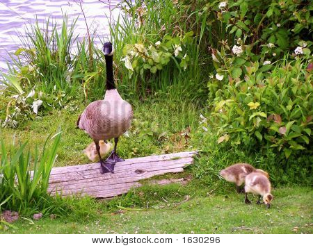 Mama Goose And Babies