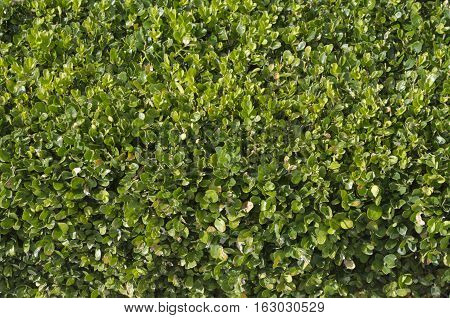 Close up background view of privet hedge