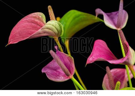Close-up of multicolor anthurium flowers. Macro photography of nature.