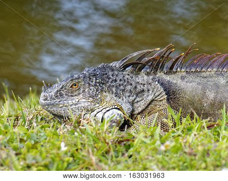 Close up of a Green Iguana in grass by lake in South Florida