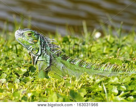 Baby Green Iguana camouflaged in grass by a lake in South Florida