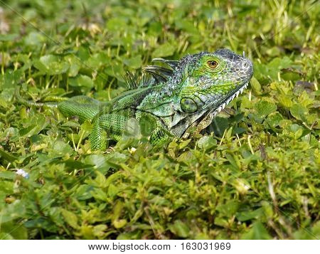 Baby Green Iguana blending in with the green grass