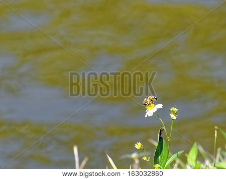 Bee on yellow center of white Spanish Needles wildflower near a lake