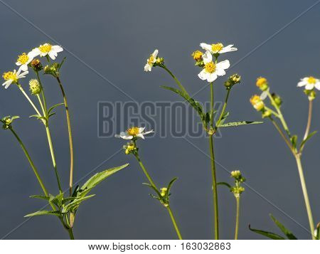 Spanish Needles white wildflowers with yellow center