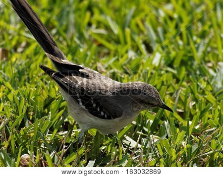 Northern Mockingbird looking for insect in grass
