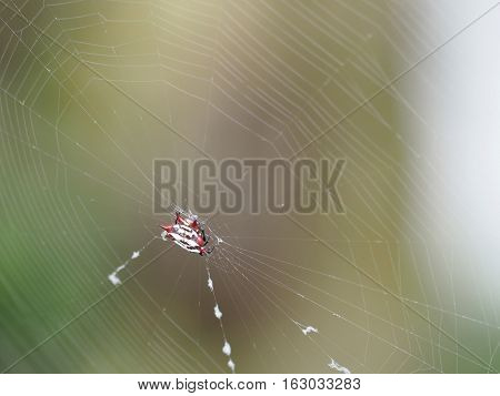 Spiny Orb-weaver spider weaving in center of web