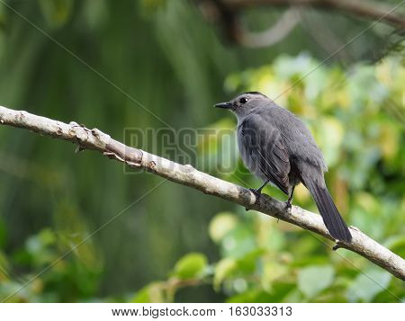 Gray Catbird perched on branch of a tree