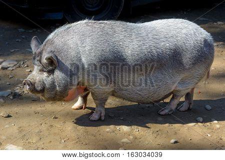 One big pig. Large pot-bellied vietnamese pig.