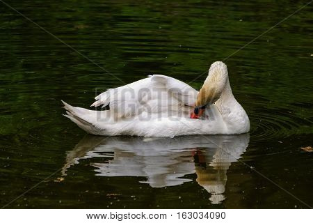 Swan. White swan floating in a pond.