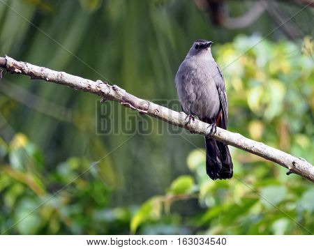 Gray Catbird perched on branch of a tree head turned slightly away one eye visible