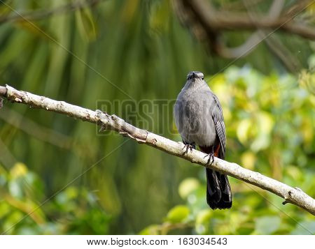 Frontal view of Gray Catbird on tree branch facing forward