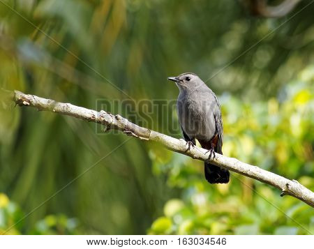 Gray Catbird on tree branch showing orange under tail