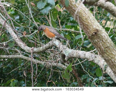 American Robin on tree branch looking down from above