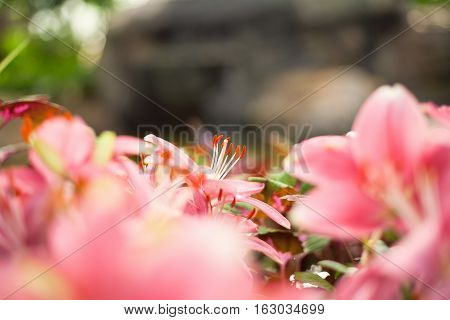Beautiful pink  lilies flower in garden from Thailand.