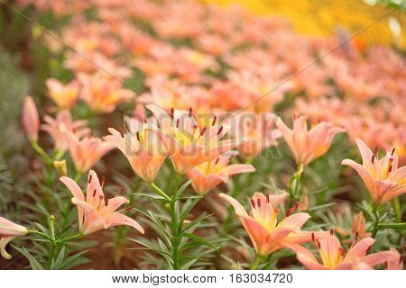 Beautiful orange lilies flower in garden from Thailand.