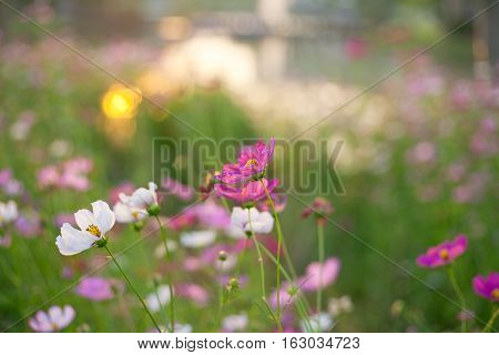 Beautiful cosmos flowers with sunlight near river.