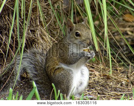 Eastern Gray Squirrel crouched on ground holding an acorn