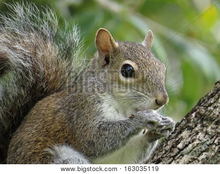 Extreme close up of an Eastern Gray Squirrel snacking on an acorn in a tree