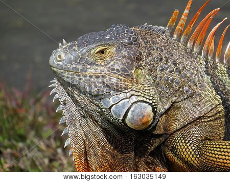 Profile of male Green Iguana displaying orange neck dewlap and beeding colors
