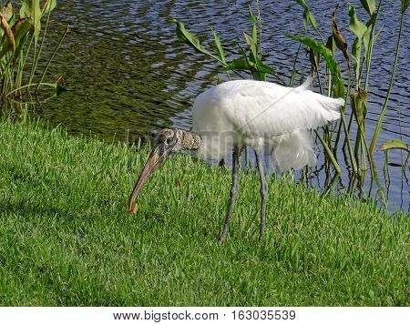 Woodstork leaning over picking up leaf from grass