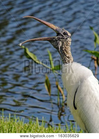 Woodstork leaning forward beak open wide feather dust on tip of beak