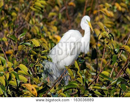 Great Egret with green breeding color and plumes on display