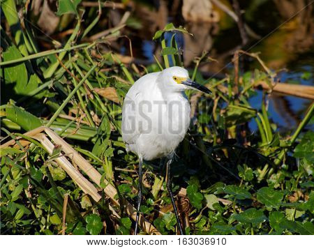 Snowy Egret in green foliage of Florida Wetlands with beak slightly open