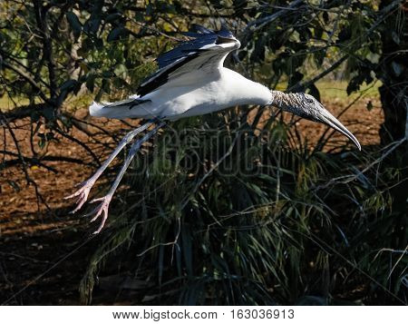 Woodstork just after taking off of the ground flying in Florida Wetlands