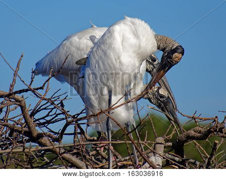 Three Woodstorks gathered in a nest on top of a tree