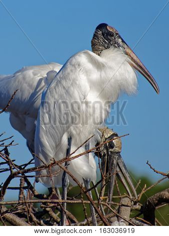 Woodstork standing proud and tall in nest with other woodstorks