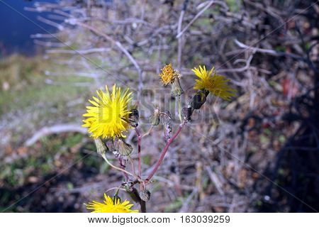 Yellow flowers of the field sow thistle (Sonchus arvensis), also called corn sow thistle, dindle,gutweed, swine thistle, tree sow thistle, and field milk thistle, bloom near a small lake in Joliet, Illinois during November