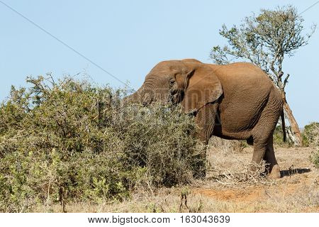 Bush Elephant With His Trunk In The Bushes
