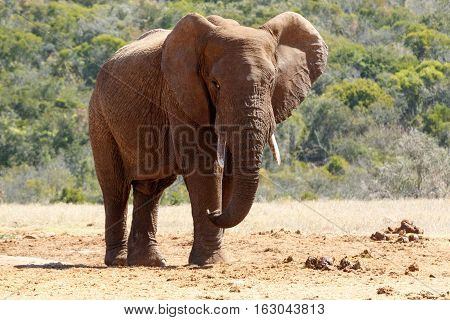Bush Elephant With Flap Ears And Crossed Over Legs
