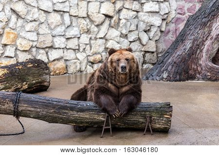 portrait of a brown bear in the Moscow zoo