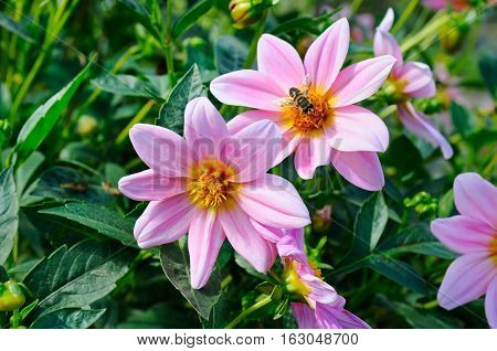 Dahlia bee on a flower. Focus it on the flowers. Shallow depth of field.