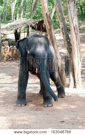 Elephant waiting for feeding at Kottoor Kappukadu Elephant Rehabilitation Centre Kerala India