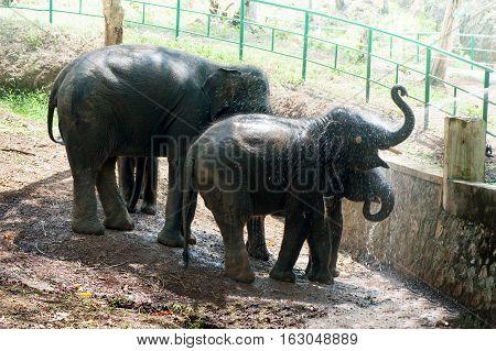 Bathing time for elephant in a lake with gadman at Kottoor Kappukadu Elephant Rehabilitation Centre Kerala India