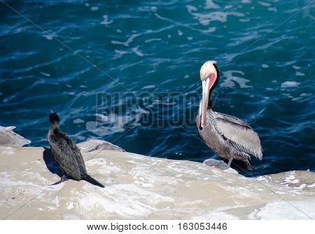 Brandt Cormorant And Pelicans On Rocks